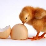 Contrat poulet / oeufs